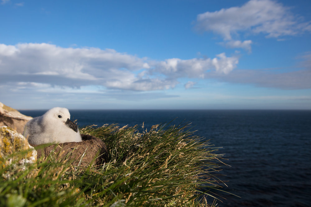Albatross Chick