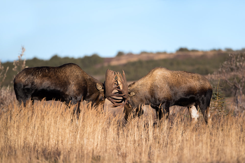 Bull Alaskan Moose Fight