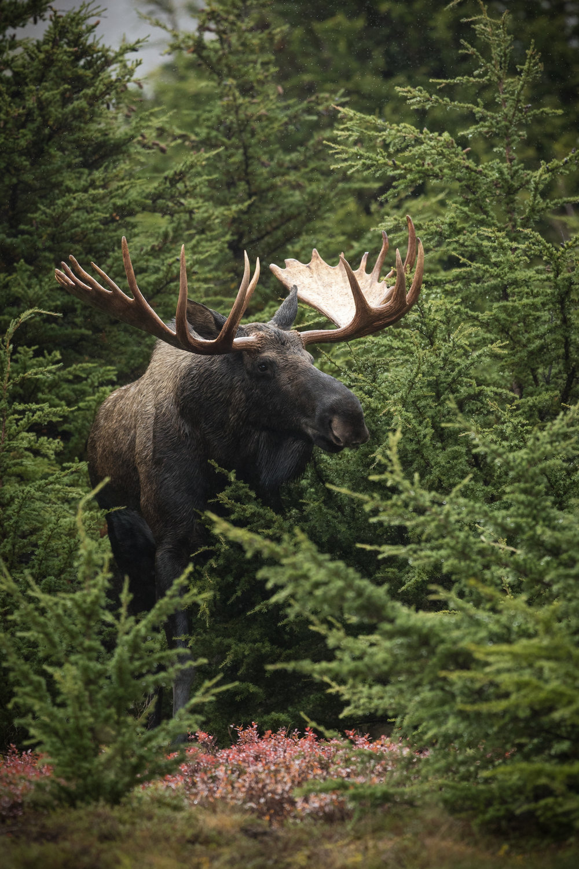 Bull Alaskan Moose