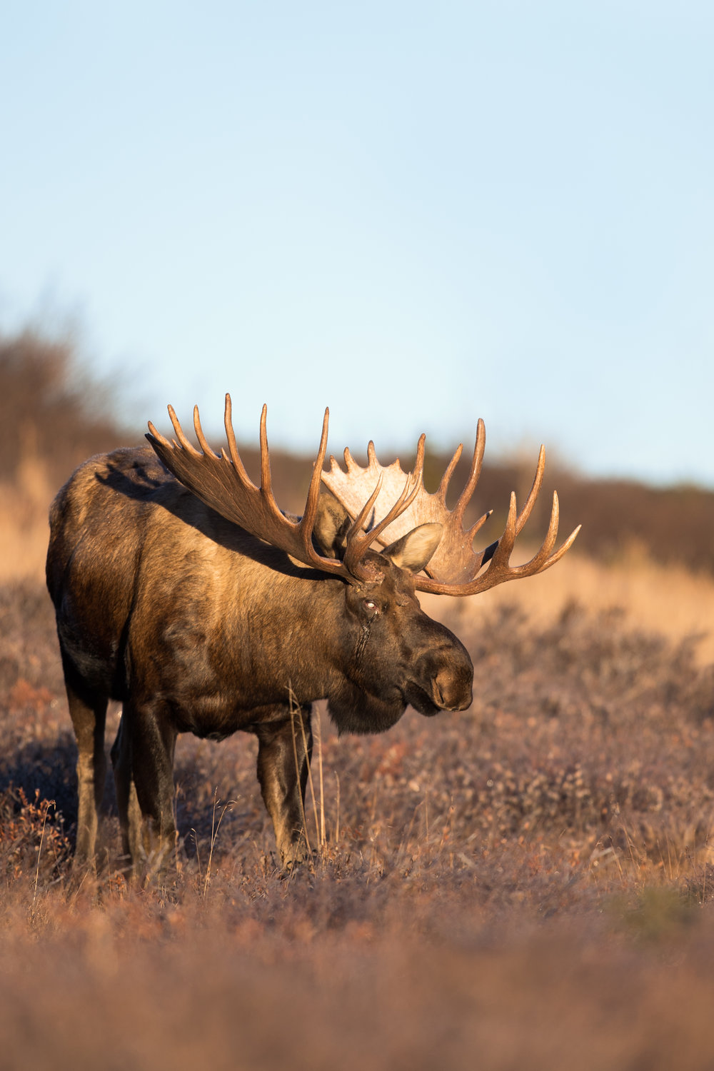 Bull Moose with a lost eye after a fight