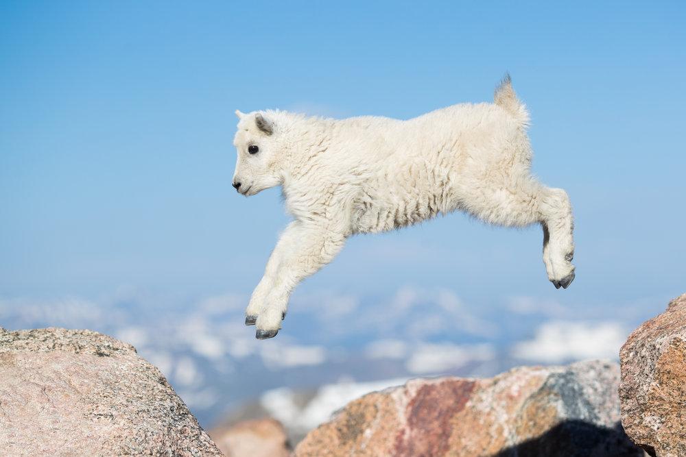 Mountain Goat Kid Jumping