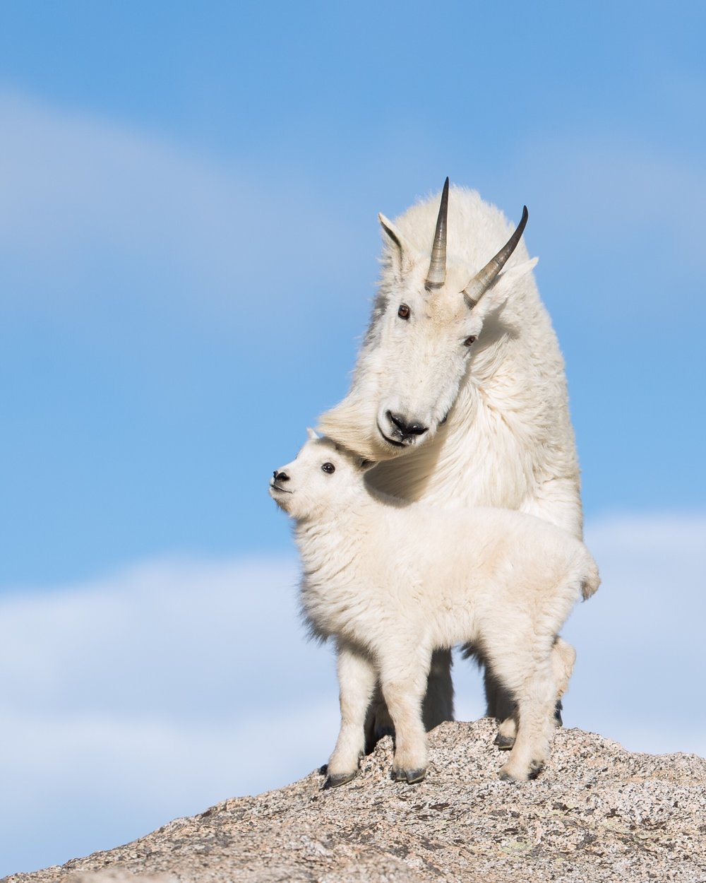 Mountain Goat & Kid