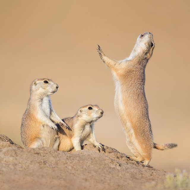 do you want a free guide walking you through all the steps of how I post process photos? Click the link in my bio! Prairie Dogs jump- yip:  Prairie Dogs have a complex language (more complex than the Dolphin). After one performs the behavior all the others will follow suit  to see how well the others are paying attention for potential threats * * * #hifromsd #prairiedog #nationalparkgeek #lr_earth #thisisgoalzero #restbetterplaybetter #thruthepaces #ps_storybook #nikonphotography #celebratewild #gettheshot #nanpapix #eye_for_earth  #wildgeography #ir_animals #world_bestanimal #Mycanonstory #bd_pro #oph #BBCEARTH #basspro #animalfanatics #animal_sultans  #splendid_animals #exclusive_wildlife #animalelite #pocket_allnature #ip_connect #nature #nature_brilliance