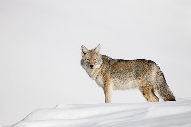 I need your help: do you want to join a design board of my new company? You might be wondering what is the Design Board? Well, it is simple. We listen to your thoughts and ideas to help us create the ultimate camera bag. Click the link in my bio!  After snowshoeing and breaking trail through fresh powder I spotted this coyote. The yote was up later in the day in order to get a little warmth from the sun during the -40f morning.  To get the photo I noticed the coyote hunting in a horizontal 's' shape pattern, so I snowshoed ahead and waited.  Some things just work out and the yote appeared on top of the ridge before continuing its walk down towards me. * * * * * #yellowstonenationalpark #coyote #nationalpark #lr_earth #thisisgoalzero #restbetterplaybetter #thruthepaces #ps_storybook #nikonphotography #celebratewild #gettheshot #nanpapix #eye_for_earth  #wildgeography #ir_animals #world_bestanimal #Mycanonstory #bd_pro #oph #BBCEARTH #basspro #animalfanatics #animal_sultans  #splendid_animals #exclusive_wildlife #animalelite #pocket_allnature #ip_connect #nature #nature_brilliance