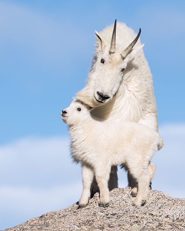 Your favorite photo of 2018- Want to see how I post processed this image? Click the link in my bio for a free guide! Mountain Goat & Kid- The wind was blowing strong at 14,000 ft in elevation as I made my way climbing from large rock to rock until I saw the Mountain Goats. They decided to walk out onto a large boulder posing for a photo. For traction when walking in areas where a fall means guaranteed death their feet have hard hooves and flexible pads. Tag someone who would love to see a Mountain Goat & Kid! * * * * * #mountaingoat #babyanimal #lr_earth #thisisgoalzero #restbetterplaybetter #thruthepaces #ps_storybook #USFWS #celebratewild #gettheshot #nanpapix #eye_for_earth  #wildgeography #ir_animals #world_bestanimal #Mycanonstory #bd_pro #oph #BBCEARTH #basspro #animalfanatics #animal_sultans  #splendid_animals #exclusive_wildlife #animalelite #pocket_allnature #ip_connect #nature #nature_brilliance
