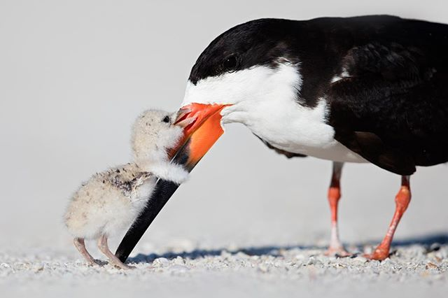 Your second favorite photo of 2018- Want to see how I post processed this image? Click the link in my bio for a free guide! Black Skimmer & Chick- I have never posted the horizontal photo on IG and this version is often used in  magazines. This is my favorite Black Skimmer photo that I have taken in all the years following a little-known colony.  Every year I select a nest when the parent is on eggs, then follow that same nest until they fledge.  I choose one nest because colonies are chaotic; you will miss some shots by pointing the lens at hundreds of birds.  At this nest, another baby was born a day or so before the one pictured.  Because of the time advantage the other baby bullied the little one by always eating first, stealing meals and pecking the little one to death until he left the shade under the parent.  To get out of the Florida heat the baby often used the shadow I casted from lying down near the parent.  After getting into position, one hour prior to sunrise, and lying there for another hour a parent flew in directly to the smaller baby giving him the meal first.  The baby was inches away from me, so I couldn't get the feeding photo.  However, after the baby gobbled down the fish, I captured him running up to the parent and displaying the behavior pictured. * * * * #bbcearth #earthcapture #mycanonstory #teamcanon #floridanature #floridabirds #babybird #wildlifeig #lr_earth #your_best_birds #nuts_about_birds #bestbirdshots #bb_of_ig #kings_birds #bird_brilliance #eye_spy_birds #bns_birds #feather_perfection #birds_adored #pocket_birds #birdsandblooms #birds_captures #birdfreaks #ip_birds #total_birds #ps_storybook #wildlife #birdsofinstagram #florida