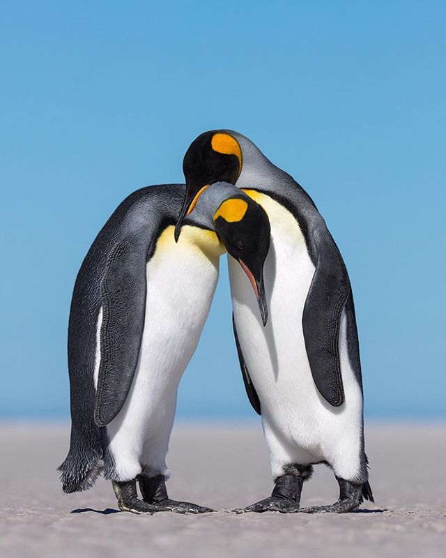 Your third favorite photo of 2018- Want to see how I post processed this image? Click the link in my bio for a free guide! In an area never camped before, a white sand beach spanned for hundreds of yards and the only sounds heard were crashing waves in combination with penguin vocalizations.  Nothing beats pitching a tent alongside a small King Penguin colony and hearing the little chirps of penguin chicks as you fall asleep.  As I camped out in this off- the- map location, my only two goals were to photograph the chicks as well as the love each King Penguin had for its partner.  While I was photographing King Penguin chicks, I noticed two Kings walking out onto an untouched beach.  As I walked out on the beach, it appeared like these two penguins were going to have a little squabble.  Preparing to take photos of a fight I noticed this interaction was something much more.  As these Kings waddled over to each other slowly, you could tell they were in love.  Soon, as they were belly to belly, they began an elaborate courtship display.  Towards the end of the display one King Penguin waddled a little closer to the other and gently rested its beak on top of the others neck. * * * * #kingpenguin #falklandislands #wildlifeig #lr_earth #thisisgoalzero #restbetterplaybetter #thruthepaces #ps_storybook #nature_worldwide_birds  #birdsandblooms  #total_birds  #ip_birds #thebirdingsquad #Mycanonstory #splendid_animals #exclusive_wildlife  #picturetokeep_nature #birds_captures  #sassy_birds #birds_illife #planetbirds  #birds_adored #bb_of_ig  #Earthcapture #birdfreaks  #pocket_birds  #feather_perfection #your_best_birds