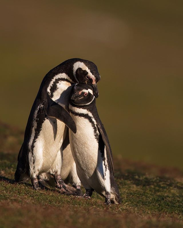 Your fourth favorite photo of 2018- Want to see how I post processed this image? Click the link in my bio for a free guide! Magellanic Penguins hugging- This is a photo of my neighbors while I was camping.  These are Magellanic Penguins and they are normally afraid of people/ jump into their burrow when you approach them.  Because I camped less than 10 feet from these guys they got use to me and there inner Penguin came out. Magellanics are some of the most loving penguins and greet each other every morning and evening.  Most of the time they will do things like preen one another, but this penguin wanted a hug. * * * * #falklands #falklandislands #falkland #magellanicpenguin #penguins #penguin #mycanonstory #5dsr #birdsofinstagram #bird_brilliance #your_best_birds #planetbirds #bbcearth #earthcapture #wildlifephotography #wildlifephotographer