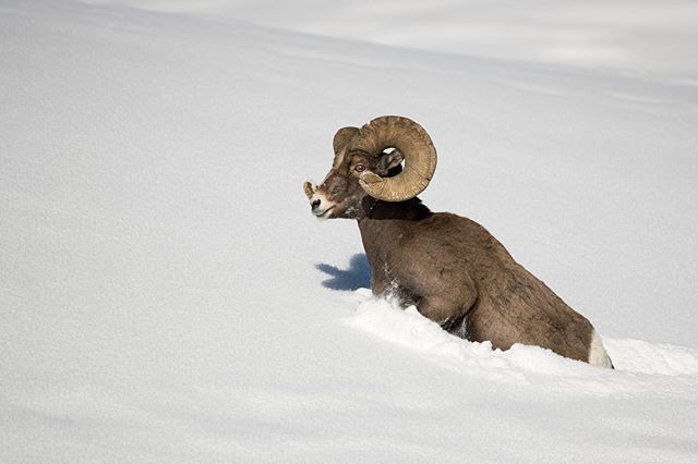 Want to see how I post processed this photo for free? Click the link in my bio. Bighorn Sheep breaking powder after a fresh snowfall: after snowshoeing with a group of Bighorn Sheep we finally got to a more leveled area compared to the steep mountainous terrain the sheep were navigating prior. Because of a steep snowfall the Sheep had to break new trail, and this one took the lead. After observing them their favorite method for breaking a trail is running/ jumping through the packed snow. Really the lead Sheep does all the work while the others in the group relax and search for vegetation to snack on. To get the photo I snowshoed ahead of the sheep and let them make their way to me. * * * * *  #bighornsheep #yellowstonenationalpark  #nationalpark #lr_earth #thisisgoalzero #restbetterplaybetter #thruthepaces #ps_storybook #nikonphotography #celebratewild #gettheshot #nanpapix #eye_for_earth  #wildgeography #ir_animals #world_bestanimal #Mycanonstory #bd_pro #oph #BBCEARTH #basspro #animalfanatics #animal_sultans  #splendid_animals #exclusive_wildlife #animalelite #pocket_allnature #ip_connect #nature #nature_brilliance