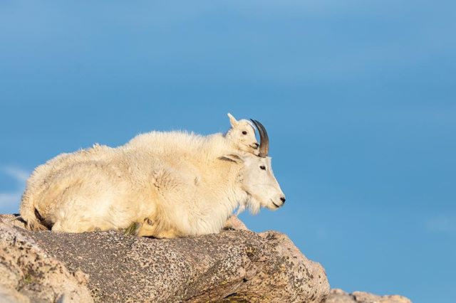 Mountain Goat & Kid relaxing at the edge of a 14,000 ft mountain- want to see how I post process my photos? Click the link in my bio to get my free step by step guide covering both Lightroom & Photoshop CC. Did you know for traction when walking in areas where a fall means guaranteed death Mountain Goats have feet with hard hooves and flexible pads? * * * * * #mountaingoat #babyanimal #lr_earth #thisisgoalzero #restbetterplaybetter #thruthepaces #ps_storybook #USFWS #celebratewild #gettheshot #nanpapix #eye_for_earth  #wildgeography #ir_animals #world_bestanimal #Mycanonstory #bd_pro #oph #BBCEARTH #basspro #animalfanatics #animal_sultans  #splendid_animals #exclusive_wildlife #animalelite #pocket_allnature #ip_connect #nature #nature_brilliance