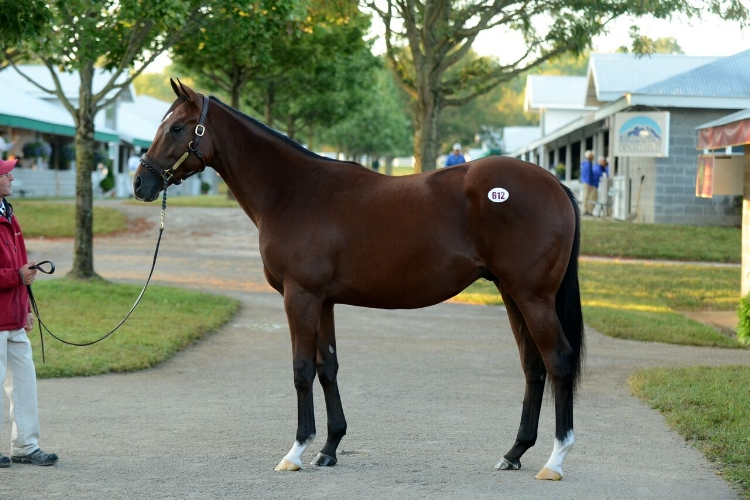 Irap, the potbellied yearling, at the Keeneland September Sale in 2015. (Photo courtesy: Laura Donnell/Taylor Made)