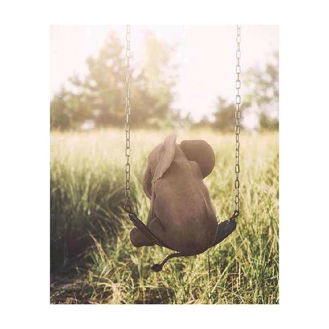 WINNER*WINNER*🐔*🍽 . Thank you to all that entered, shared and for chuckling to yourself at all the funny things we said. You were correct to laugh . The winner was already notified, so if this is not you, I want to present you with the single most adorable thing to have ever existed . This is a BABY ELEPHANT ON A SWING (pause...breath) . By now this has most likely distracted you from the sad realization that a computer choose another human at random to win...and that's ok.  Because this picture is so insanely perfect it makes us want to forget stupid summit meetings in Finland or not winning a contest or the fact I can't eat a slice of 🍕 like I did when I was 26 without being king of the 💨— 😔 . WHY DID YOU GET DISTRACTED? BECAUSE ITS BABY ELEPHANT ON A SWING FOR CUSS SAKE .  Stay tuned though in the next 24 hours as we have something big to announce this time tomorrow night.  Trust me...you won't wanna miss. . . 📷 Edit - @truthbynature . #glamping #atx #texas #texasforever #naturephotography #naturelovers #babyelephants  #dumbo #alpaca #donkey #greenacresatx #greenacres #austin #fareastaustin