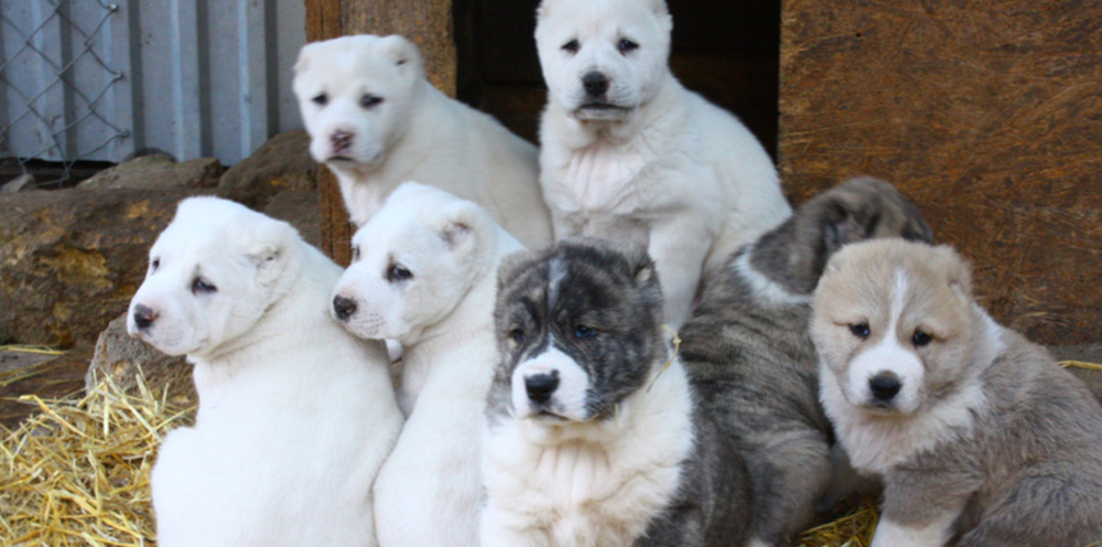 Apply   For a Central Asian Shepherd Puppy