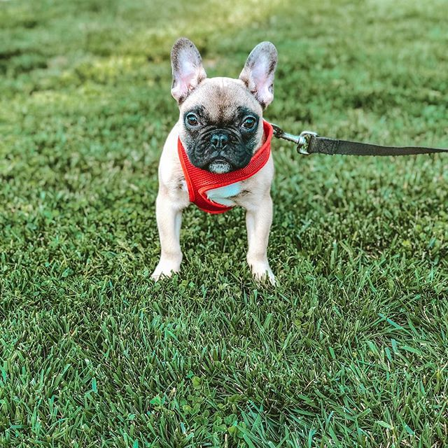 ☀️ This week was Roscoes first adventure on a leash. He loved being outside , but wasn't to sure about the thing attached to him that would cause a sudden detour to his agenda (and route). 🐶♥️🐶♥️🐶♥️🐶♥️🐶♥️🐶 #roscoewood #dogmom #lenderlife #puppiesofinstgram #frenchbulldog #frenchie #local559 #fresno #cvrealestate #springhassprung