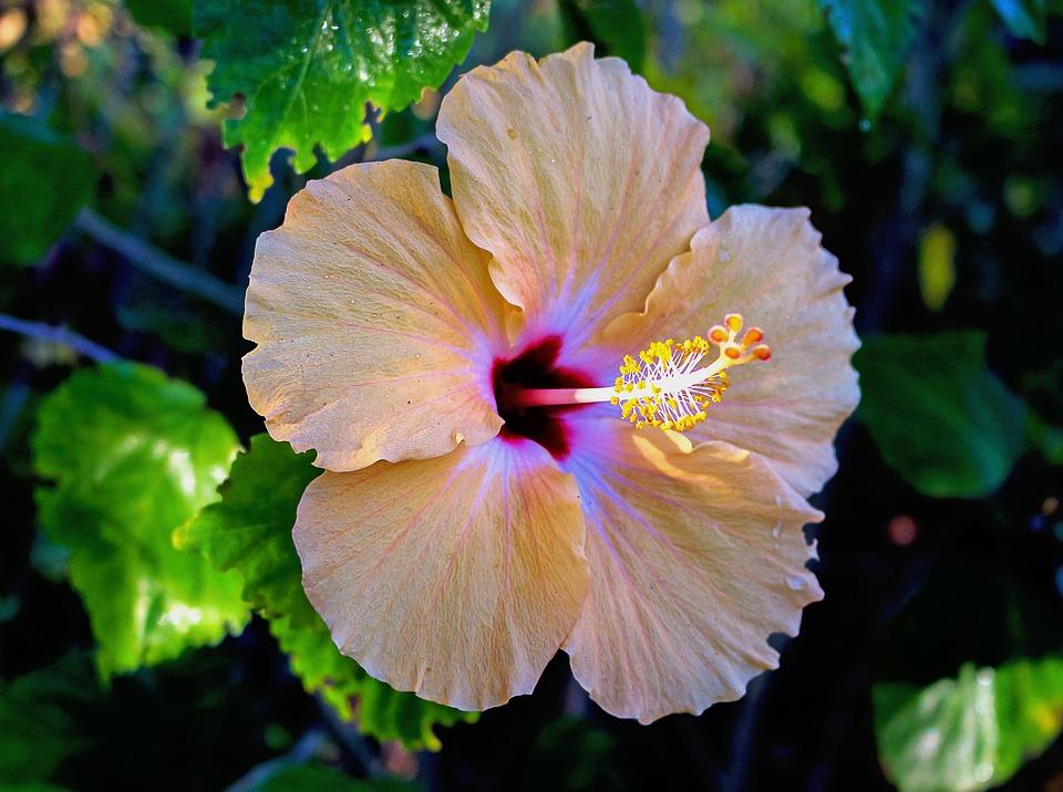 hibiscus-1998992_960_720.jpg