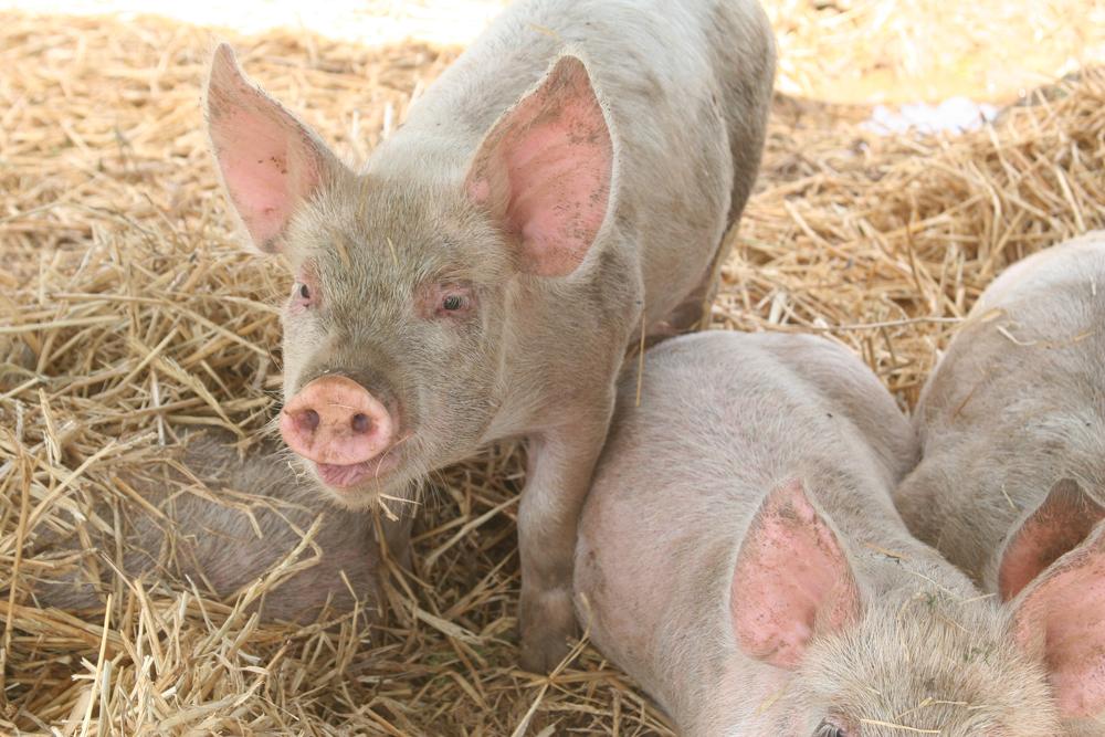 Pigs-2-web.jpg