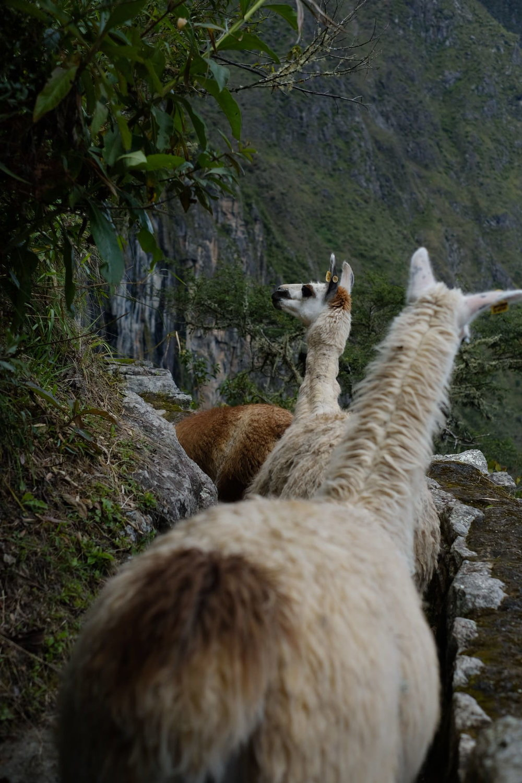 Llamas Incas no caminho da Ponte Inca -