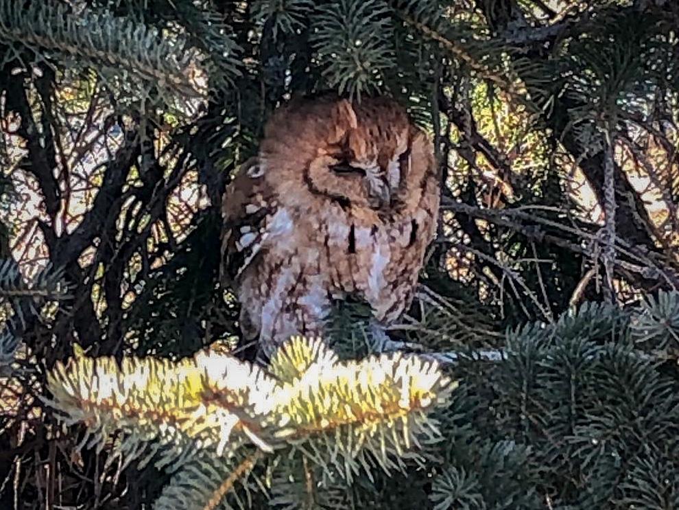 Eastern Screech Owl visits the ECI Heritage Garden at St. Joseph Villa - 2-25-19.jpg