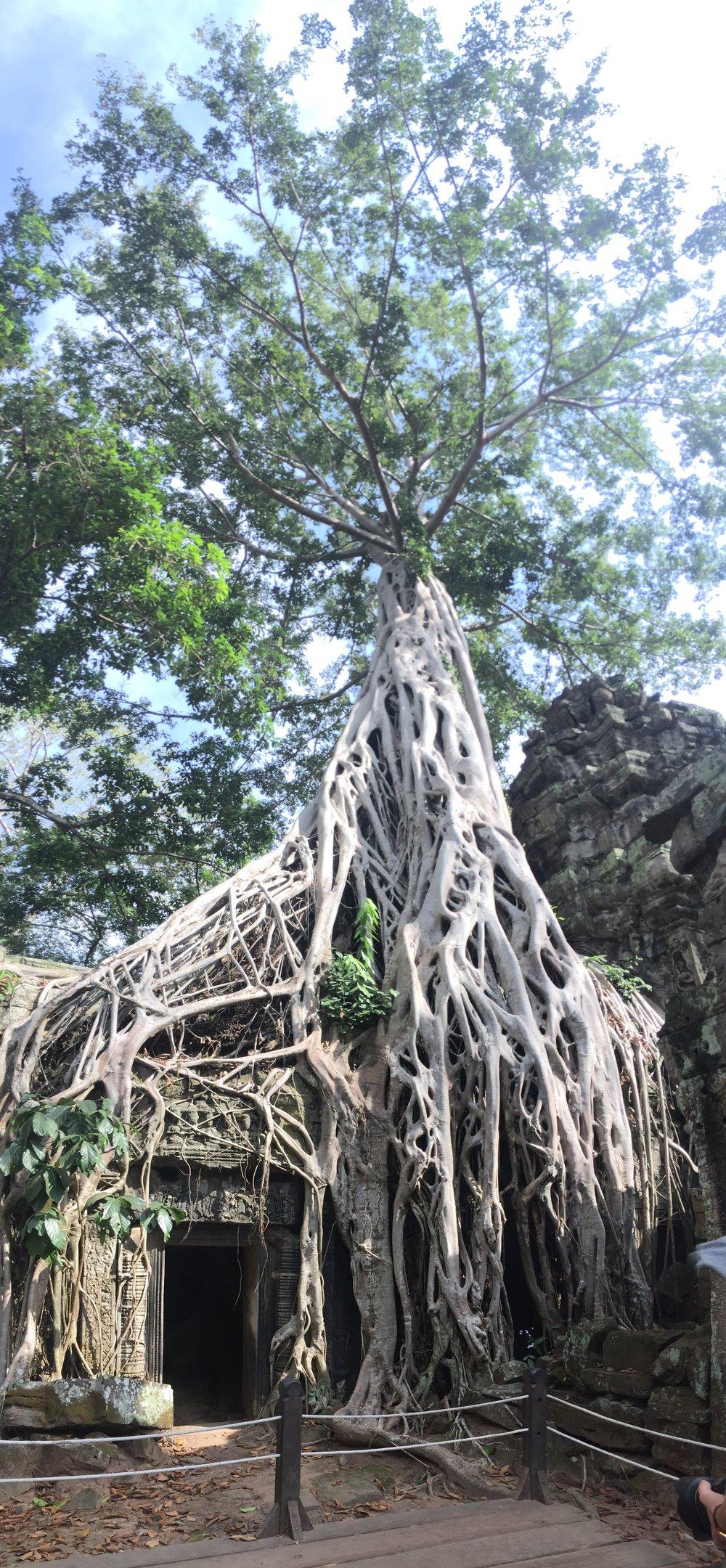 A strangler tree over Ta Prohm Temple. Fun fact: A scene in Tomb Raider was filmed here.