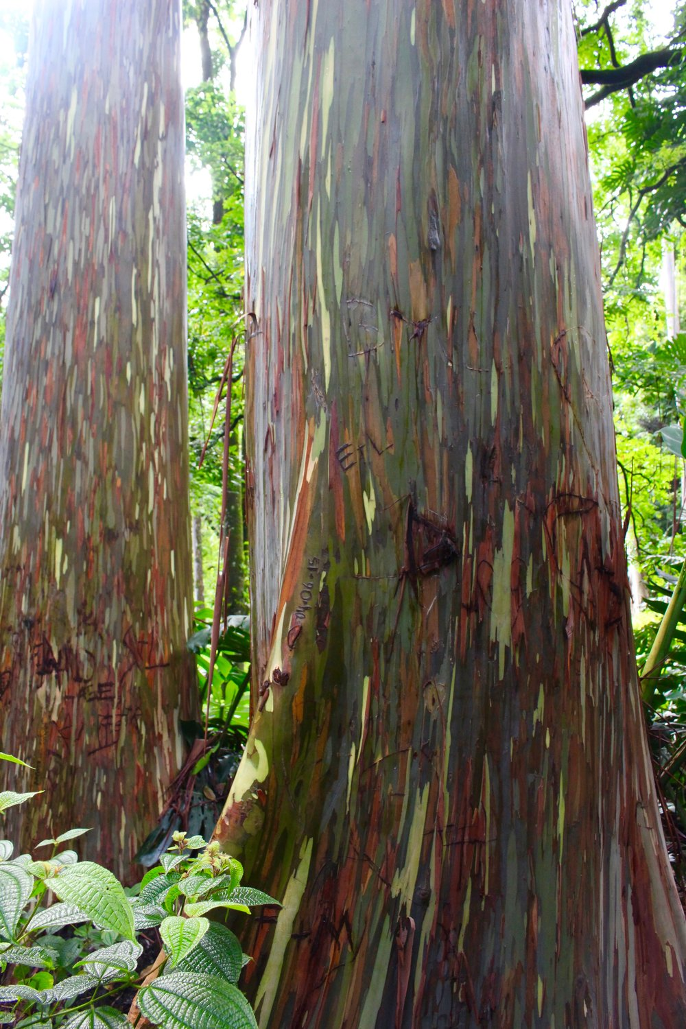 These rainbow eucalyptus trees are all natural! The bark sheds at different times, starting at a bright green and slowly changing to an array of rainbow colors.