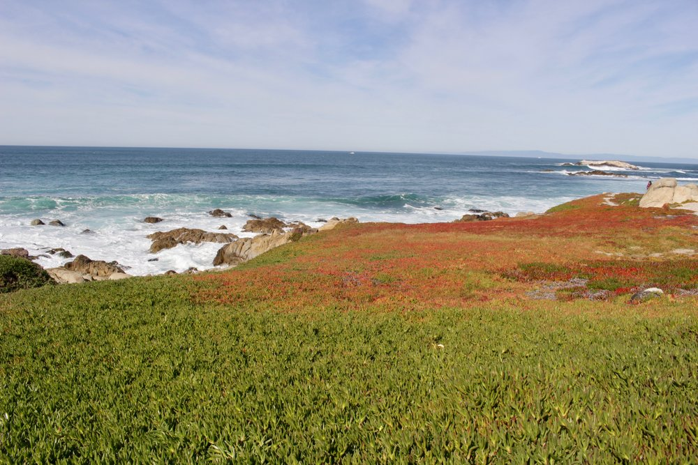Colorful ice plant along 17-Mile Drive.