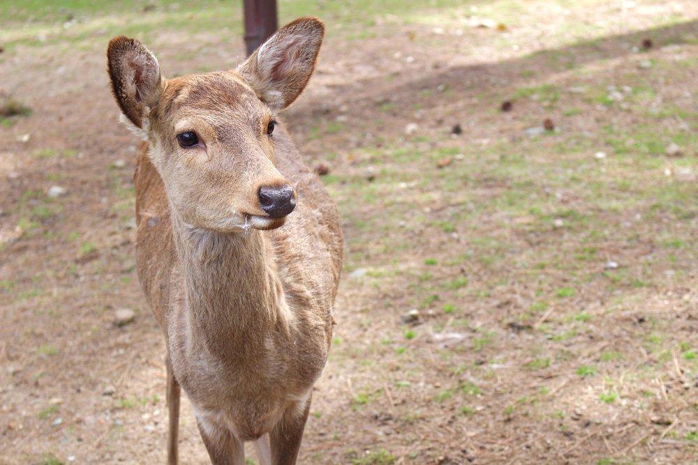 nara-deer-japan.jpg