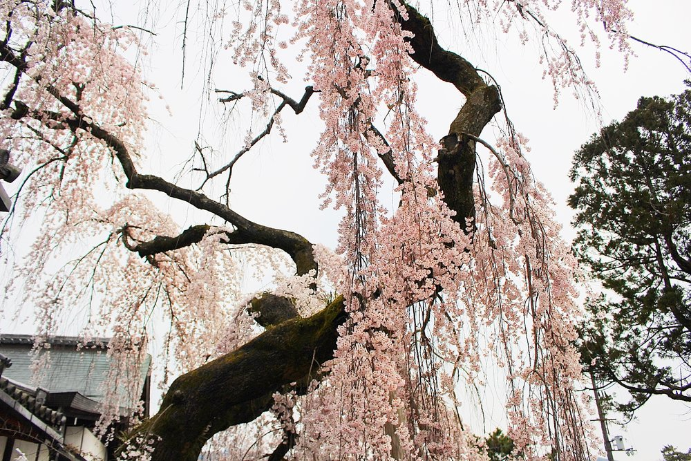 This weeping cherry tree shaded a temple across the street from Nara Park.