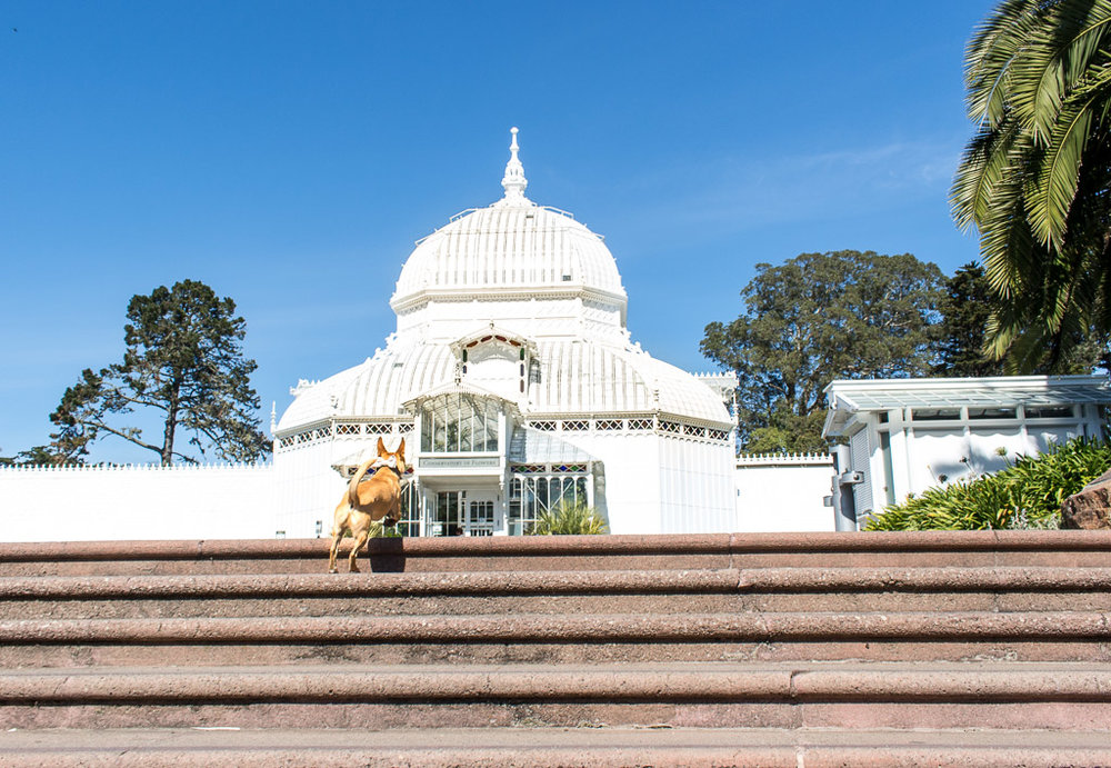@maxtheterrier  running up the stairs to Golden Gate Park's  Conservatory of Flowers .