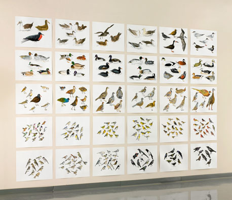 "Post-Audubon, Birds of North America, right, one-third of installation,  2008  103"" x 154"", 30@ 19"" x 24"" Sharpie/watercolor on paper"