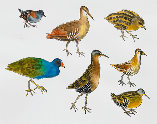 "Post-Audubon, Birds of North America, Chicken-like Marsh Birds,  2008  19"" x 24"" Sharpie/watercolor on paper"