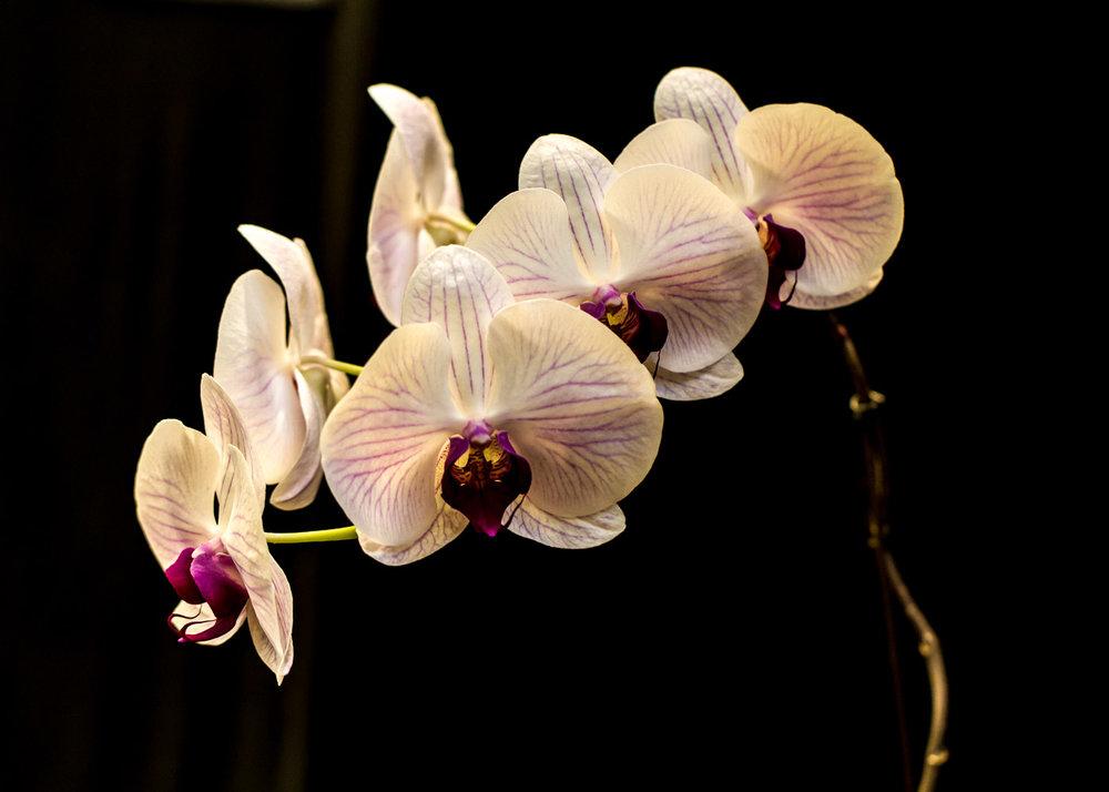Orchid - Portrait
