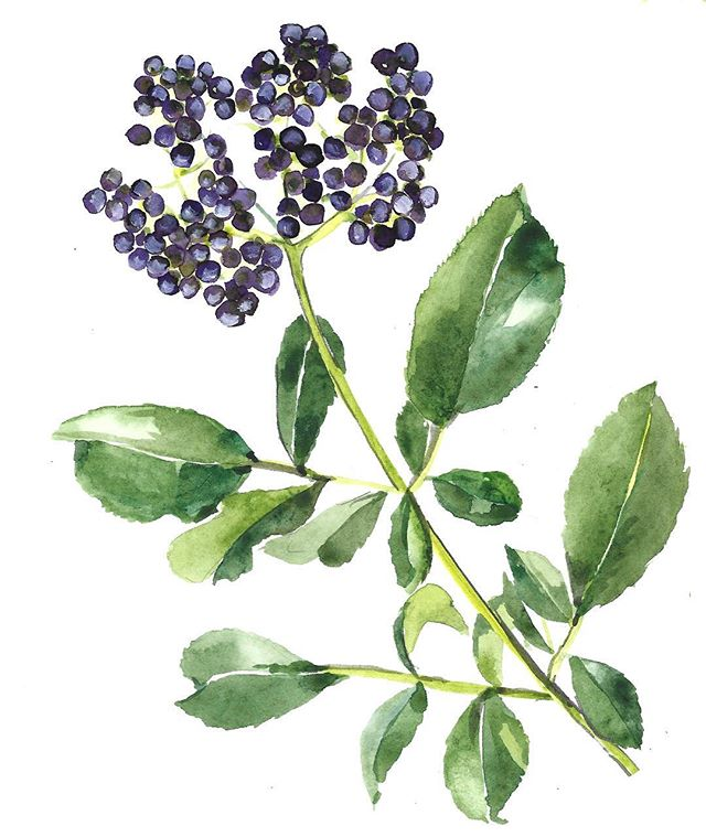 Meet Elderberry. Sambucus canadensis is an American varietal illustrated here by @emilyfemmina 💜 Back in 2005, I was introduced to this plant medicine by a local elder, Elsie, a gentle but hardy Swiss woman who had a small dairy and organic co-op in the 70's off Schulte Road in Carmel. I helped her tend her herb garden towards the end of her life, and in exchange she taught me how to make a few special medicines, one of which was Elderberry. This was a preparation she learned from her mother in Switzerland. It was here I found myself at the beginning of a journey into the world of herbs and what it means to have an herbal ally in your home apothecary. Elderberry is very close to my heart! 🌿💜🌿