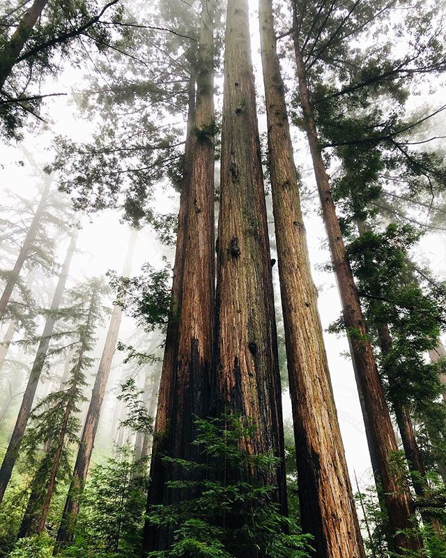 The coast redwood, Sequoia sempervirens, is the tallest tree in the world and can live to 3,000 years🌲This grove is a few miles up a trail in Big Sur 🌲