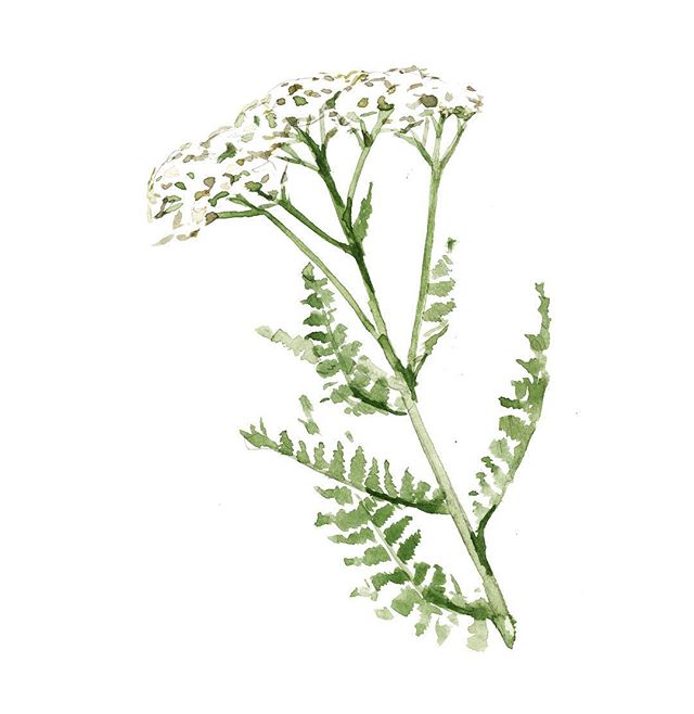 "Say hello to Yarrow, Achillea millefolium, watercolor illustration by @emilyfemmina 🌿 Yarrow has been used for thousands of years in many cultures; it's Latin name coming from Achilles, the Greek warrior who used Yarrow to heal his soldiers wounded in battle. An ancient Asian saying goes, ""wherever yarrow grows, one need not fear"". Traces of yarrow along with other medicinal herbs were found in the grave of a Neanderthal man in Iraq, dated about 60,000 years ago. Yarrow is an essential in any apothecary because of it's many herbal actions. Herbalists and gardeners alike have a great reverence for this herb and the healing properties it offers."