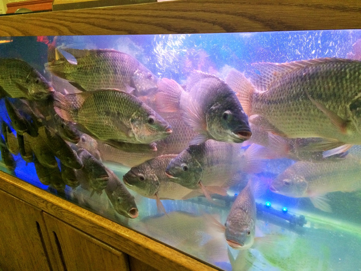 The fish tank at Ming's Bistro.
