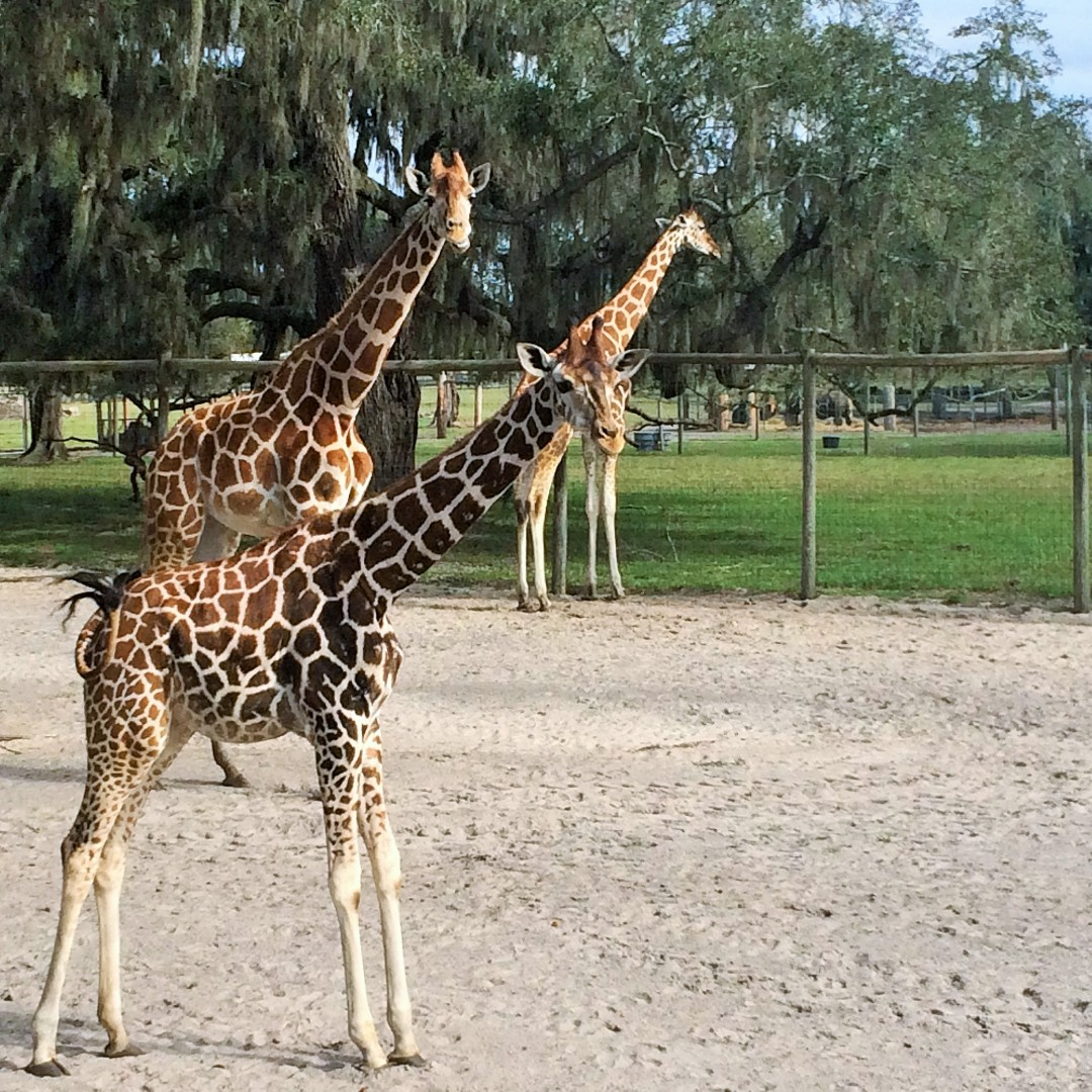 Some of the friendly animals at Giraffe Ranch