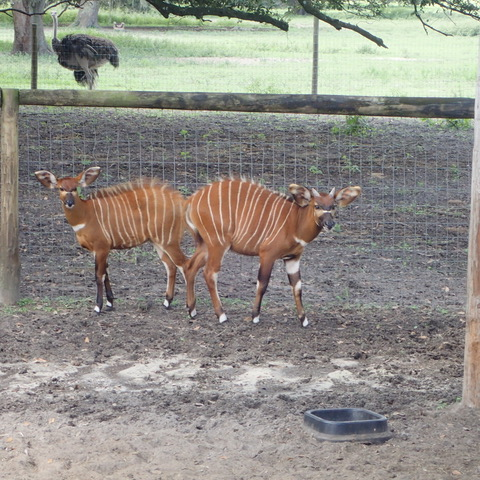 "These red antelope are eastern mountain bongo from Kenya -- and ""very endangered,"" Salisbury says. ""I think we have the only bongo feeding encounter anywhere."" More gems you'll also hear on the Giraffe Ranch Segway safari: ""These forest antelope look red to us, but green to leopards, which have fewer cones in their eyes. They are found at high elevations (7000') on Mt. Kenya in bamboo forests."""