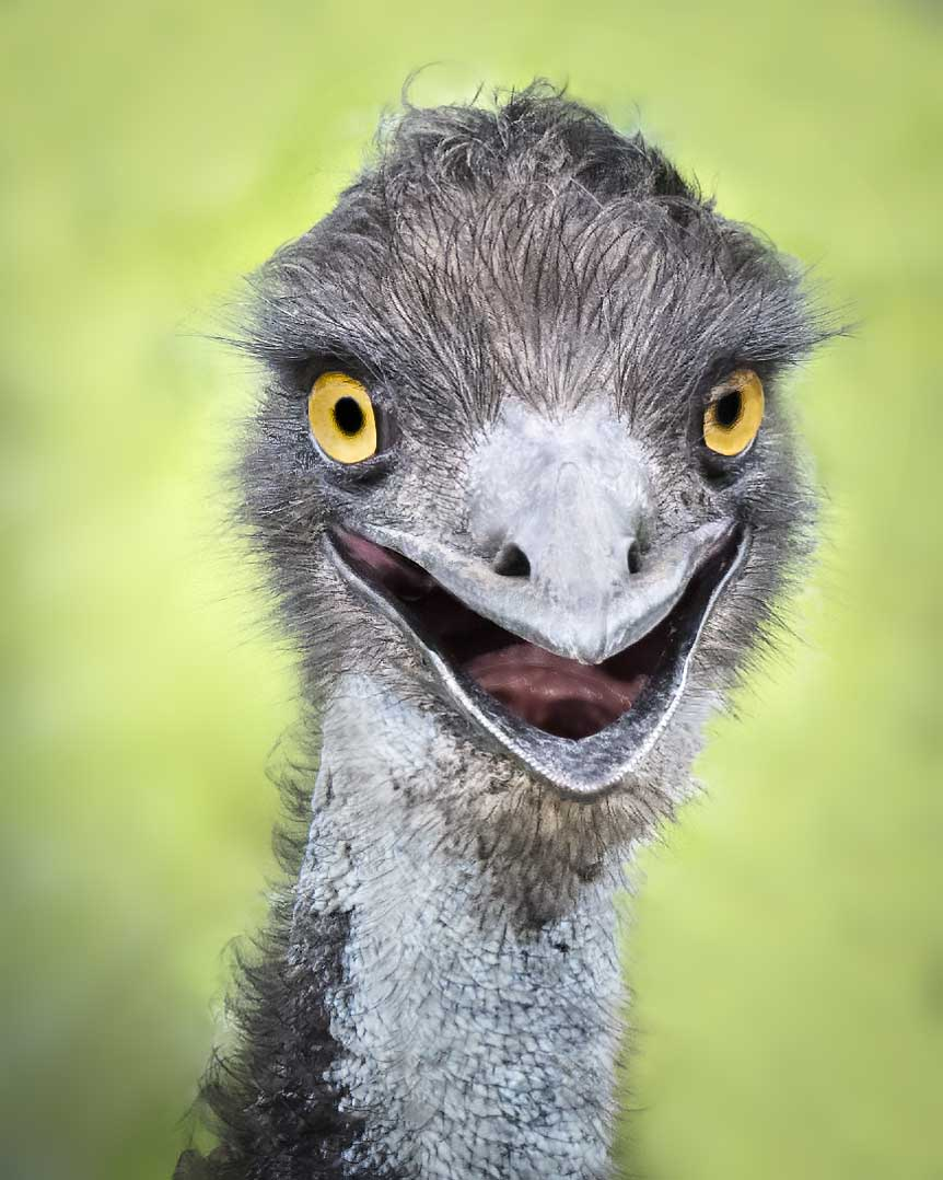An emu. Photo by Michael Feldman, www.michaelfeldmanphotos.com