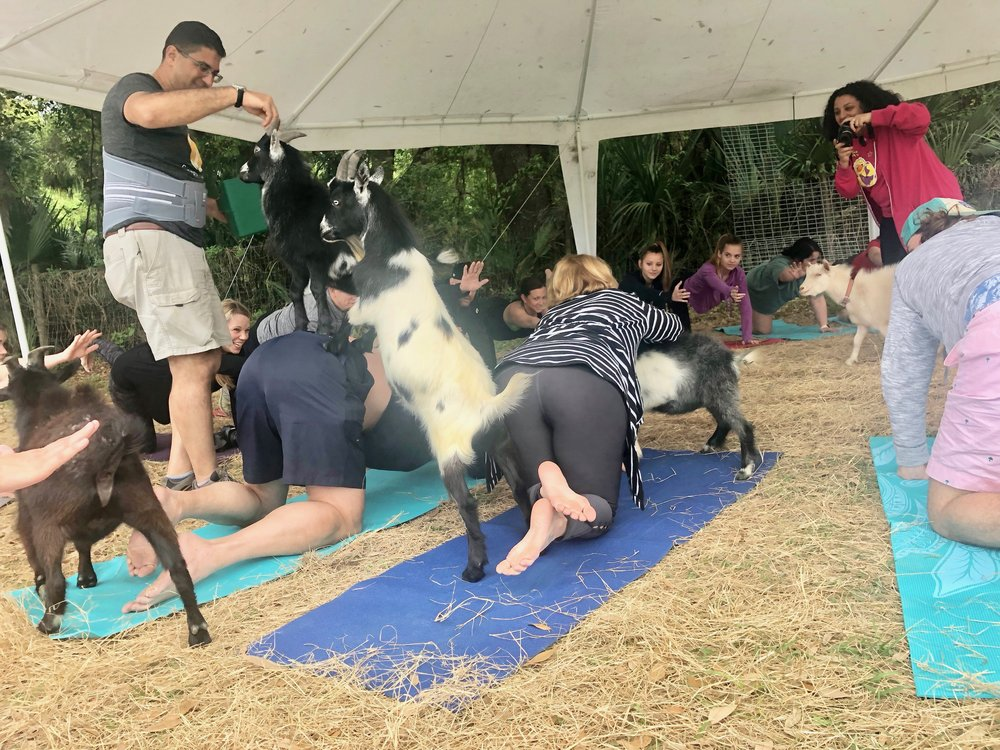 Look at the details about how this works. Each yogi is surrounded by goats periodically during the class. At that time, the man on the left sprinkles goat-attraction dust (a goat snack) on you and your mat while the woman takes pictures of you getting mauled – or petting the cute little animals. She posts the pictures on the Dancing Moon Farm website the next day.