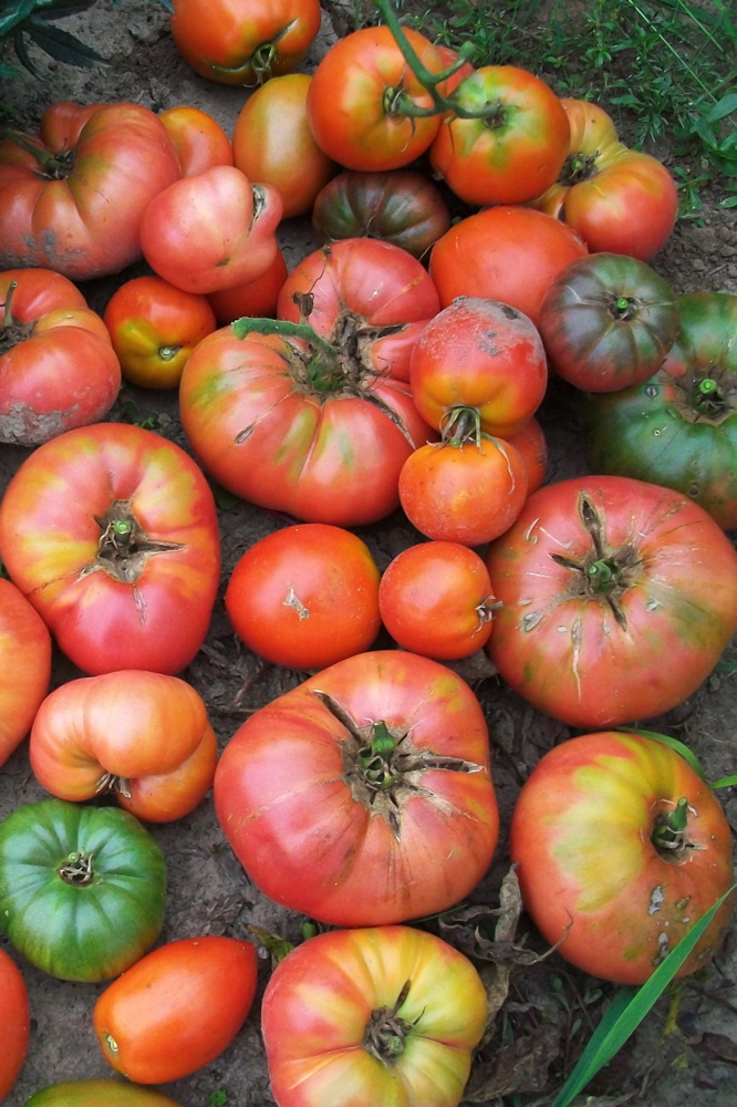 A big pile of tomatoes, in various shapes, sizes, and colors, fresh from the vine and piled in the dirt