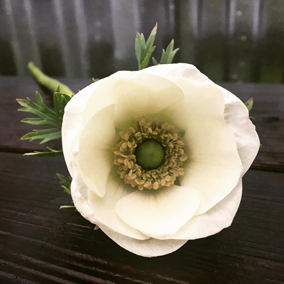 A homegrown Anemone.