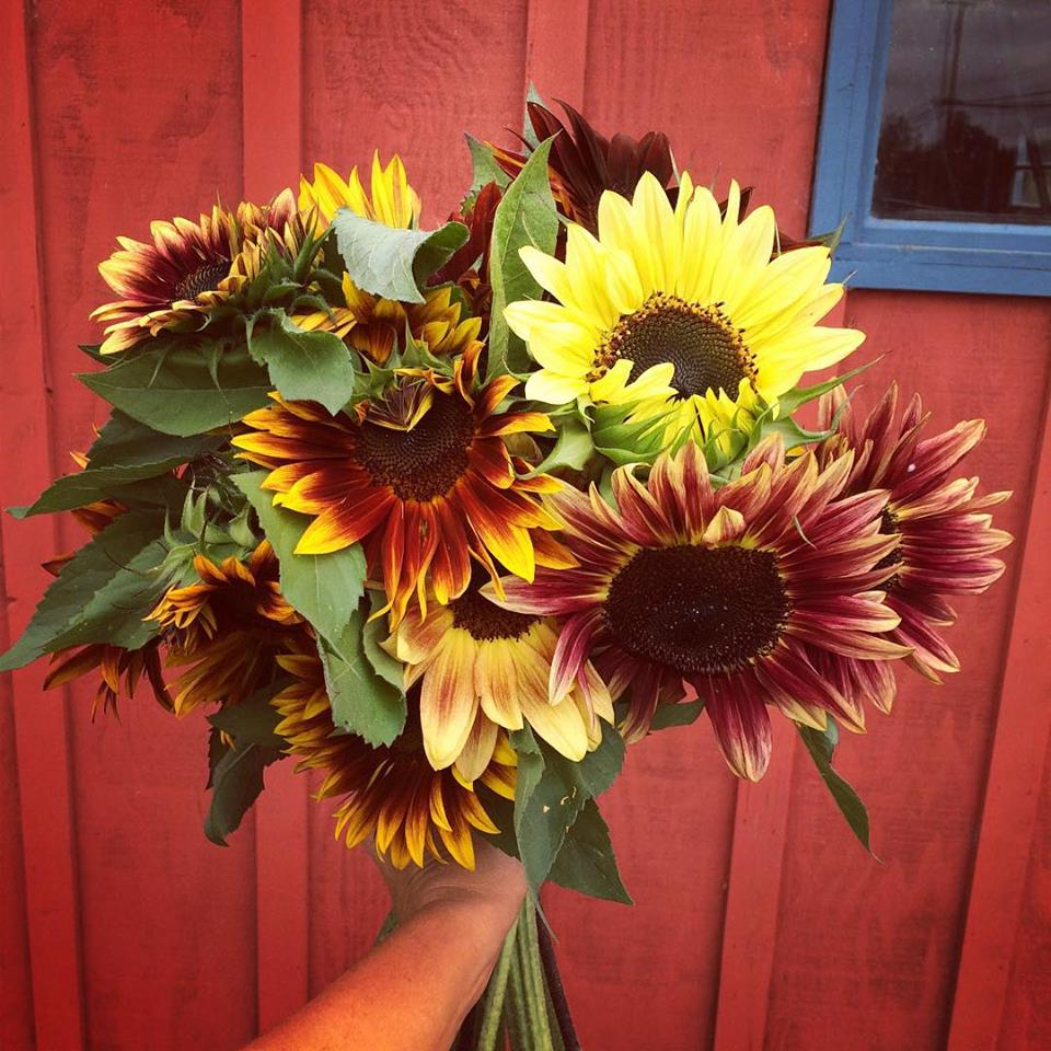 Sunflower magic from First Light Farm.