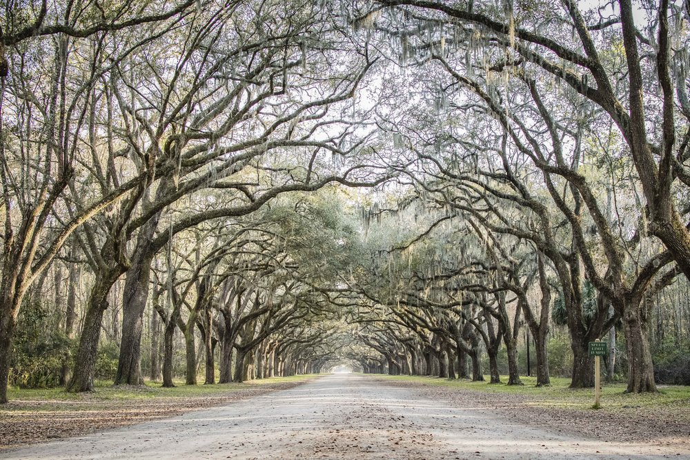 Simply breathtaking! It was live oaks and Spanish Moss heaven in Wormsloe.