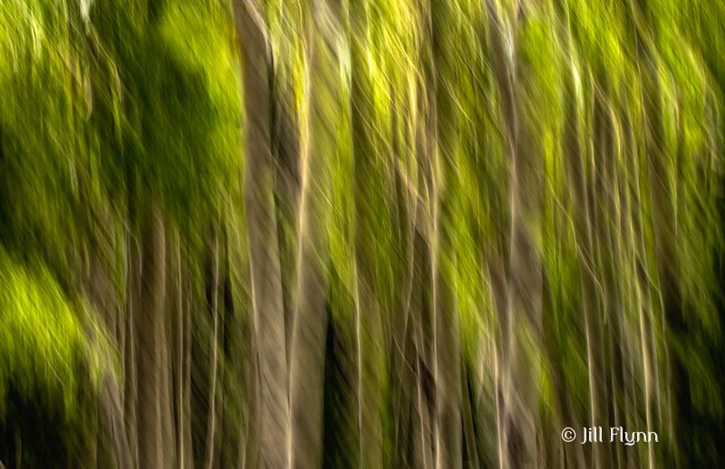 Trees in Flagstaff, AZ. Camera movement and multiple images.