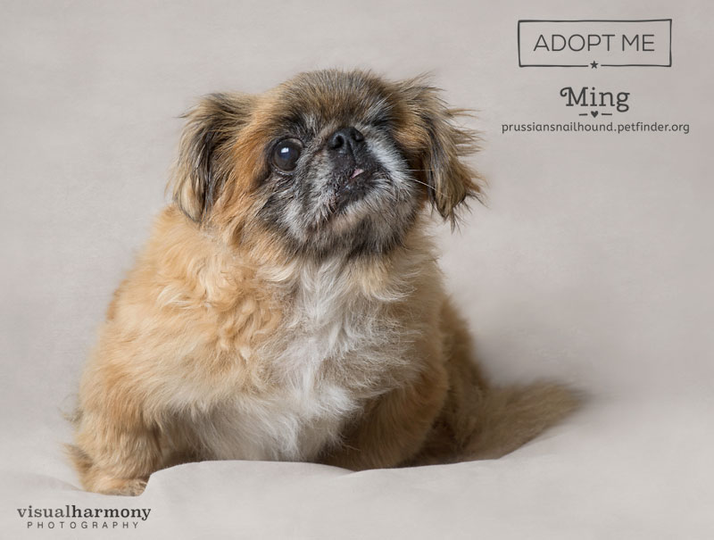 Ming is a senior, one-eyed pekingese who was used for breeding her whole life until she got too old, and then ended up homeless.  She is safe now and is looking for an exceptional human to share her life. Ming is an affectionate, kind and gentle dog who loves people. She has a remarkable spirit and is available for adoption with AZ Prussian Snailhound Dog Rescue in Phoenix, AZ.