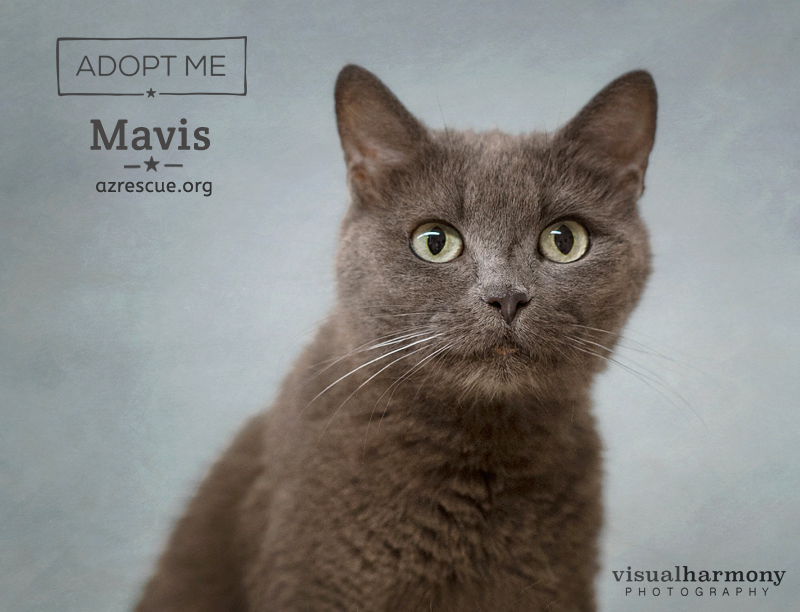 Mavis loves curling up in a comfortable lap, being brushed and hanging out with people. She is a gentle and affectionate cat who loves attention. She will warm your heart in the most remarkable way and is available for adoption with AZ RESCUE in Phoenix, AZ.
