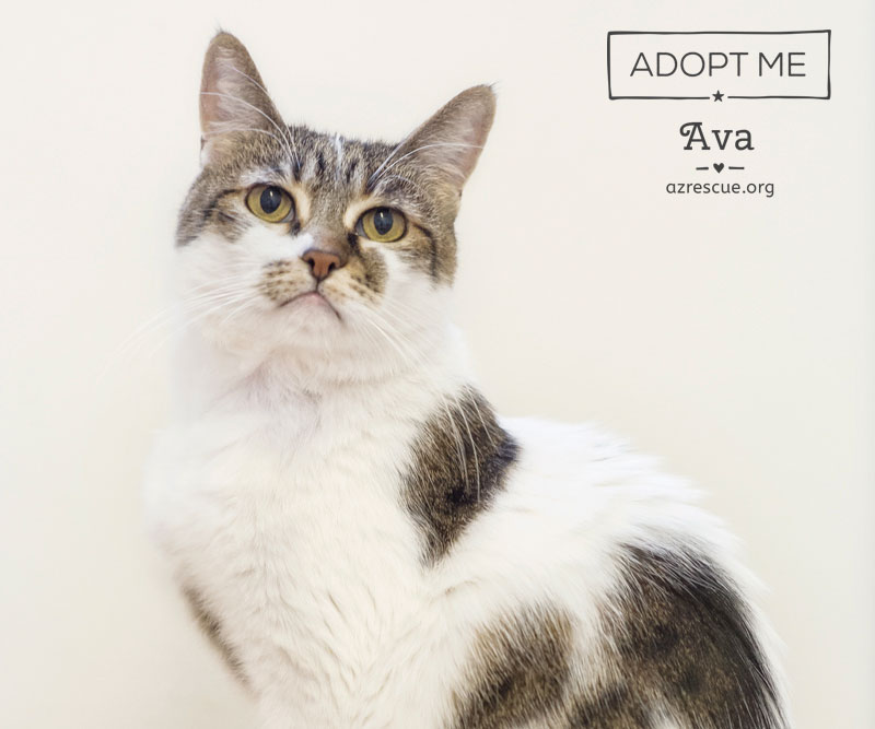 If you love peace and quiet in your world, Ava is your dream cat. She is an affectionate, gentle natured cat who loves everything that is mellow.  If you need the calm energy of a Zen kitty, Ava is available for adoption with AZ RESCUE in Phoenix. AZ.