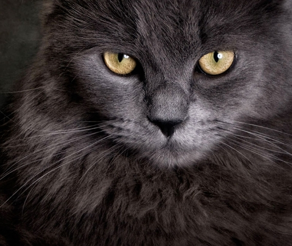 GRAY cats are elegant, timeless and known for their luxurious coats, which come in numerous shades of gray. They are the quintessential, classy feline.