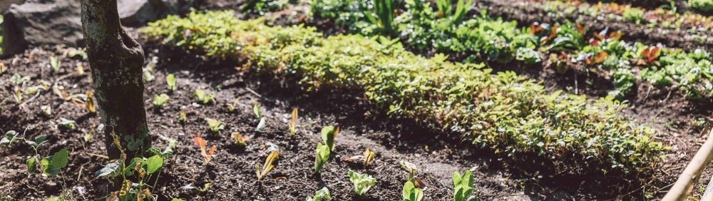 Atitlan Organics Farm Lettuce