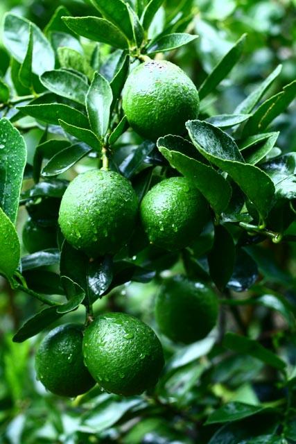 Atitlan Organics Limes